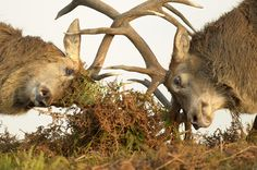 Photograph Red deer fight by Edwin Kats on 500px