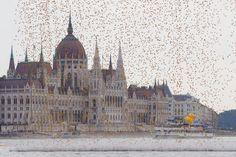 """Dal cielo di Budapest sono piovute quasi 52mila paperelle gialle di gomma. Sono state lanciate sull'acqua del Danubio, all'altezza dell'edificio del Parlamento, in occasione del """"Great Rubber Ducky Race 2014"""", una manifestazione di beneficenza che si svolge ogni anno nella capitale unghere"""