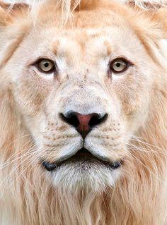 Leeuwen zijn geen levende schietschijven, maar toch worden velen van hen wél zo behandeld. Vind jij ook dat deze belachelijke praktijken moeten stoppen? Steun Stichting SPOTS. Stop canned hunting! www.knuffelfarms.nl (Foto:bigcatphotos UK)