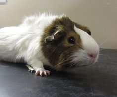 Caramel is one of the many new guinea pigs at the Edmonton Humane Society.  Isn't he cute?