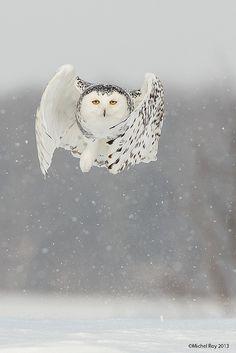 Snowy owl comin' at ya