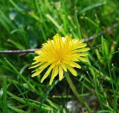 Treating kidney disease with natural alternatives Dandelion Uses, Dandelion Flower, Kidney Failure Symptoms, Chronic Kidney Disease, Kidney Cyst, Kidney Infection, Alternative Health Care, Scented Geranium