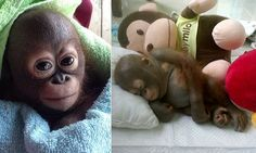 Ten-month-old orangutan rescued after being starved by owner http://www.dailymail.co.uk/news/article-2921354/The-baby-orangutan-couldn-t-grow-kept-chicken-coop-Ten-month-old-animal-knew-pain-hunger-owner- never-gave-food.html