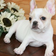 pictures of french bulldogs - AT Yahoo! Search Results