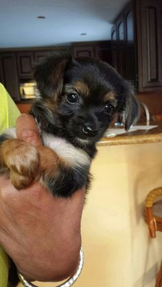 min pin chihuahua mix puppies for sale yorkie miniature pinscher mix gone to the dogs 2907
