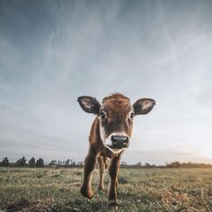 Photo credit: Sammantha Fisher - @sfisherx - www.sammanthafisher.com/shop for prints 💛 Watch Dance Moms, Farm Animals, Cute Animals, Baby Voice, Different Types Of Animals, Farm Lifestyle, Baby Cows, Cute Cows, Creature Feature