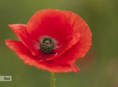 Poppy by Diana K on 500px