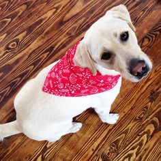 Caroline's Dog Bandana in 3 sizes - full free instructions for our furry friends attire.