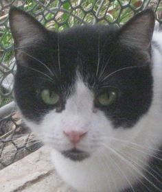Meet Trevor a Petfinder adoptable Domestic Short Hair-black and white Cat | New Windsor, NY | Trevor is shy but once he warms up to you he is very affectionate.  Has a low key profile and stays...