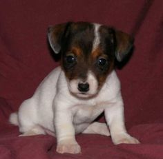 jack-a bee Puppy.This is a Jack Russell/Beagle Mix. I bet this is what Pepsi looked like when she was a baby. :) @Keri Ann
