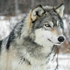 Grey Wolf (by MLGreenly)