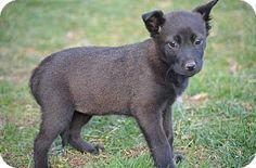 Doylestown, PA - Shepherd (Unknown Type)/Terrier (Unknown Type, Medium) Mix. Meet Beanie Babies: Pina, a puppy for adoption. http://www.adoptapet.com/pet/12189437-doylestown-pennsylvania-shepherd-unknown-type-mix