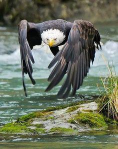 Sólo un águila calva, de caza y en vuelo rasante En esta maravillosa imagen podemos ver un ejemplar de águila calva (Haliaeetus leucocephalus) cazando en un río. Su posición, muy diferente a la que nos tienen acostumbrados los zoológicos, nos muestra la perfección en el vuelo de este animal.
