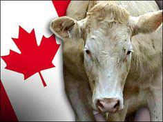 Önümüzdeki 3 yılı boyunca Kanada Ukrayna'ya yaklaşık 12 milyon dolar değerinde büyükbaş hayvan tedarik edecek. Bakanlar Kurulu Toplantısı'nda tartışılan anlaşma onaylandı.Anlaşmaya göre Ukrayna...