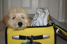 Bella Kai the Goldendoodle is an preferred running mate!