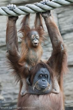 ~~Happiness of a orangutan family by sergei gladyshev~~