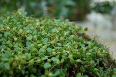Bulbophyllum alagense small form
