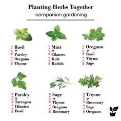 what herbs grow well together? - companion planting herbs - - Planting herbs together is a step toward a flowering garden. moreover, Growing herbs together can promote the health and growth of your garden. Herb Companion Planting, Culture D'herbes, Container Herb Garden, Herb Gardening, Herb Garden Indoor, Balcony Herb Gardens, Raised Herb Garden, Small Herb Gardens, Herb Farm