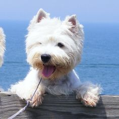 Adorable Little West Highland Terrier Dog enjoying a Boat ride in The Sea