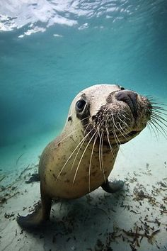 Australian Geographic Journal January-March 2011. The sea lion. Picture: Museum Victoria / Image by Julian Finn