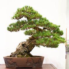 White pine - 50 years