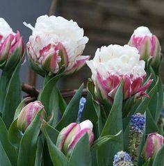 Tulipán bola de nieve