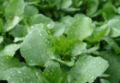 Lettuce, Spinach, Herbalism, Remedies, Health Fitness, Herbs, Vegetables, Cooking, Plants