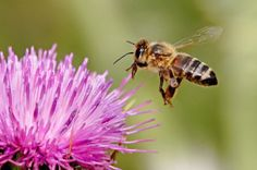 <p>Bees play an extremely important role in the survival of our species. 70 percent of the main crops used for human consumption are dependent on insect pollination in order to reproduce and create fruit, and bees are by and large the most extensive pollinators used. </p>