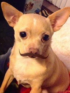 Mustache Chi!! Looks like my Mr. Braydee!!