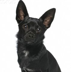 Pixie look alike - if she was younger! Black Chihuahua, Black Licorice, Look Alike, Chihuahuas, Cute Puppies, Cute Cats, My Friend, Boston Terrier, Pixie