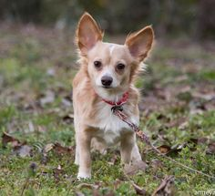 Lost Dog - Chihuahua Long Haired - Hephzibah, GA, United States 30815