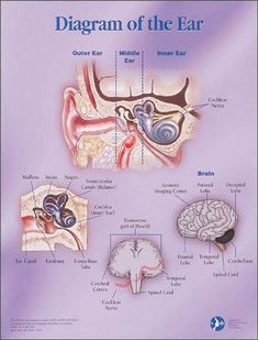 "Just what you need for your #audiology office! An 18"" x 24"" illustrated poster of the ear #hearing #audiologist"