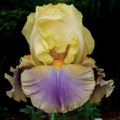 """2006, Johnson  'Chinook Arch' (Thomas Johnson, registered 2006). Seedling Tu267A. TB, height 36"""" (91 cm), mid season bloom. Standards medium yellow, peach buff infusion up midrib; style arms peach; falls blue violet central wash blending to peach band, intense peach hafts; beards orange; slight fragrance. R131C: (O6AA: ('Sultry Mood' x 'In Town') x P. Black D84AA: ('Mysterious Balance' x 'Pioneer Woman')) X 'Chasing Rainbows'. Mid-America 2006. Photo by Mid-America Garden"""
