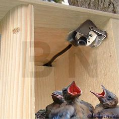 Watch birds nesting in your yard without disturbing them using the Hawk Eye Bird Cam. This tiny color and infrared camera is designed to mount inside a nest box, for easy monitoring of nestlings. Six infrared diodes on the face of the camera offer light, allowing the nest box to remain visible day and night. A microphone is built in to the camera, allowing you to hear the nest activity as well as see it