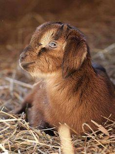 :-D baby goat