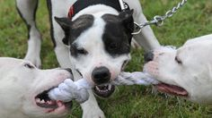 As of 2008, dog fighting is a felony in all 50 states and in the District of Columbia, Guam, Puerto Rico and the U.S. Virgin Islands. In ...