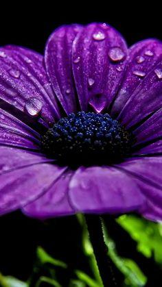 Purple Flower, Drops, Petals