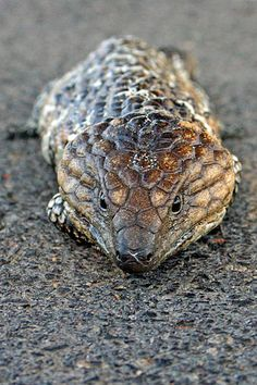Tiliqua rugosa - Wikipedia, the free encyclopedia
