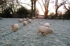Sheep on frosty grass