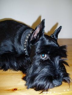 Close up side view head and upper body shot - A black Standard Schnauzer dog laying down on a table looking forward. Schnauzers, Miniature Schnauzer Puppies, Giant Schnauzer, Schnauzer Puppy, Black Mini Schnauzer, Standard Schnauzer, I Love Dogs, Cute Dogs, Scottish Terrier Puppy