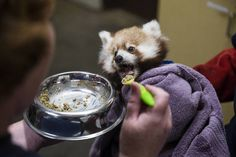 Keepers raise 3mo red panda cubs after mother died unexpectedly at Chattanooga Zoo  (Times Free Press)
