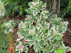 Hydrangea macrophylla 'Mariesii Variegata'