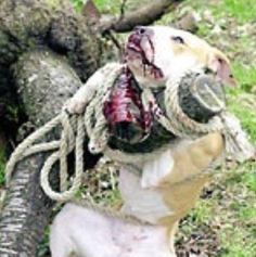 """MICHAEL VICK launches his clothing line """"V7"""". The photo shows what Michael Vick did to dogs ...death by hanging, drowning, strangulation, gun shot, electrocution and other methods. YET HE IS ADORED by the public and has well over a million football fans. People that commit such HEINOUS CRIMES should not be celebrated by the public."""