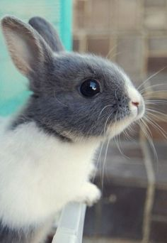 Grey and White Bunny