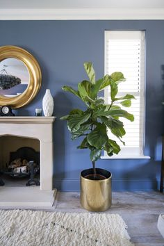 Fiddle fig on reclaimed brass pot. Juniper Ash walls from Little Greene Paint Company. Erica Davies's living room the-edited.com photo Eleanor Skan