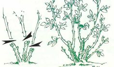 rozenstruik snoeien - Google zoeken Gardening, Google, Lawn And Garden, Horticulture, Square Foot Gardening, Garden Care