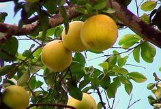 frutos citricos - Buscar con Google
