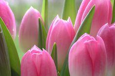 tulipány - Hľadať Googlom