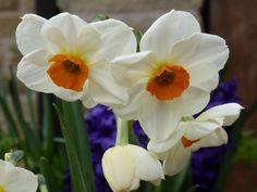 Scented narcissus are delicate and carry a lovely perfume Spring Flowering Bulbs, Spring Bulbs, Lovely Perfume, Delicate, Rose, Garden, Flowers, Plants, Color