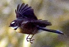 Fantail Birds In Flight, New Zealand, Animals, Animales, Animaux, Animal Memes, Animal, Animais, Dieren